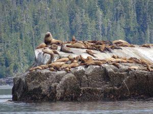 Stellar sea lions outside Booker Lagoon