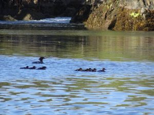 A mother merganser and her 10 youngsters floated through the same passage as it became a rapids again a couple of hours later.